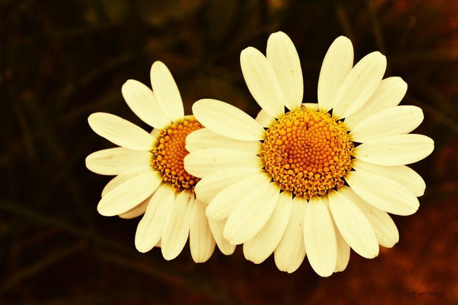 Ameen Soleimani flowers